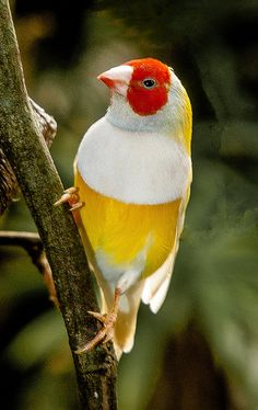 Finch - yellow with a white cape and a red mask!