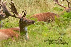 wildlife photography - portrait of the deer