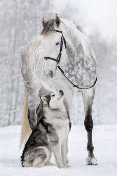 Just beautiful! Dapple grey horse and Husky in the snow. Horses and dogs are great friends. Just beautiful! Dapple grey horse and Husky in the snow. Horses and dogs are. Horses And Dogs, Cute Horses, Pretty Horses, Horse Love, Beautiful Horses, Animals Beautiful, Pretty Animals, Unusual Animals, Beautiful Beautiful
