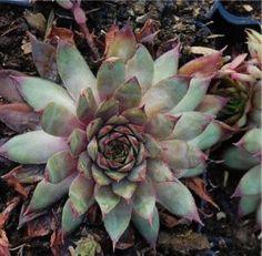 Dachwurz Twilight Blue - Sempervivum cultorum | eBay