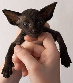 baby black sphinx <3<3