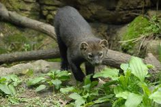 It's not great, but it's the best photo of the fisher I have ever gotten. Fisher Cat, Cat Run, Stop Working, Animal House, Otters, Creatures, Ferrets, Wolverines, Cats