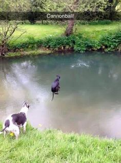 Whippet doing a cannonball. I am dying.