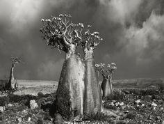 Rose du désert (Socotra, Yémen) en 2010. Ces arbres bouteilles regorgent d'eau, une forme de protection contre les sécheresses.