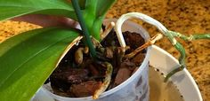 Follow our step by step instructions & learn how repotting Orchids can help keep your Orchids thriving and re-blooming for years to come.
