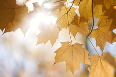 Backlit fall maple leaves in sunshine by Elena Elisseeva on 500px