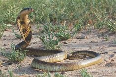 Snouted Cobra - Naja annulifera Planting Roses, Cobra, Creepy Things, African, Snakes, Characters, Animals, Nature, People