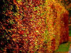 Fagus sylvatica - herfst, beuken houden 's winters hun goudbruine dode blad vast tot er in het voorjaar nieuw blad uitloopt