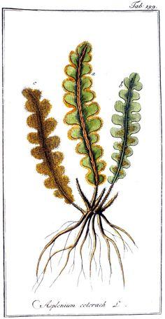 Schubvaren - Ceterach officinarum