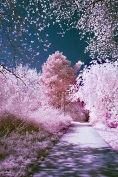 Sakura Blossoms, Japan