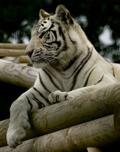 Beautiful White Tiger/ My Savior Big Cats, Cats And Kittens, Cute Cats, Beautiful Cats, Animals Beautiful, White Bengal Tiger, Tiger Love, Cat Species, Exotic Cats