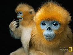 """Animais caricatos como estes raros primatas chineses """"atraem visitantes e verbas de pesquisa para os zoos"""", diz o fotógrafo Joel Sartore.Oc..."""
