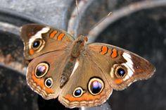 Attracting Butterflies: Common Buckeye. birdsandblooms.com