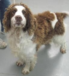 Duffy is an adoptable English Springer Spaniel Dog in Adrian, MI. Adoption Price: $125.00 All of our adoptable pets are spayed or neutered before they leave our shelter. If this pet is not currently l...