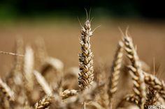 Grain Of Life  Korn Des Lebens Grain de Vie