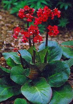 "Zone 5 hardy African violet - Red Beauty Hardy African Violet - Bergenia cordifolia  - 4"" Pot -Very Hardy/Shade in Home & Garden, Yard, Garden & Outdoor Living, Plants, Seeds & Bulbs, Plants & Seedlings, Perennials 