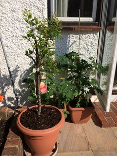 My new apricot tree and mamas tomatoes June 2014