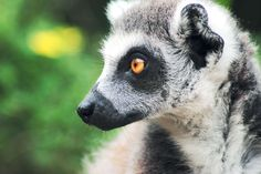 #animal #lemur #zoo