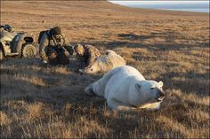 #RUSSIA #SWD #GREEN2STAY Polar bear cub gets tin can trapped in its mouth By Olga Gertcyk07 November 2016 Successful rescue carried out, but the case on a remote Arctic island highlights the threat to wild animals from man's garbage.