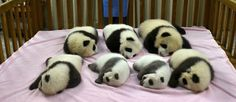 População de pandas gigantes apresenta considerável crescimento na China +http://brml.co/1wyjv6C