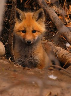 "tiny-creatures: "" Curious Fox Kit by BugMan50 on Flickr. """