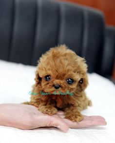 Red Teacup Poodle Puppy