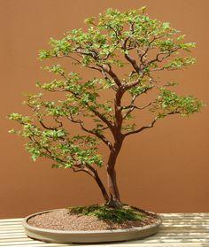 Jaboticaba bonsaï