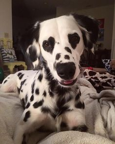 Adorable Dalmatian Becomes Internet Famous With His Heart-Shaped Eyes – 10 Pics Cute Puppies, Cute Dogs, Dogs And Puppies, Doggies, Animals And Pets, Funny Animals, Nature Animals, Cute Little Animals, Cute Creatures