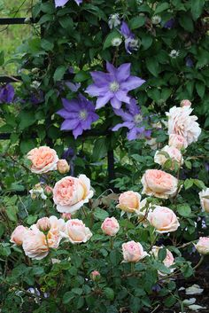 'Abraham Darby' and Clematis English Rose 'Abraham Darby' and Clematis Clematis 'H. Young' and Rosa 'Abraham Darby'English Rose 'Abraham Darby' and Clematis Clematis 'H. Young' and Rosa 'Abraham Darby' David Austin Roses, Climbing Roses, Rose Cottage, Easy Garden, Garden Plants, Fruit Garden, House Plants, Dream Garden, Abraham Darby