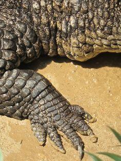 Types Of Crocodiles, Dragon Anatomy, Reptile Scales, Animals And Pets, Cute Animals, Natural Curiosities, Alligators, Reptiles And Amphibians, Creature Design