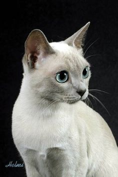 Tonkinese cat - pictures of cats