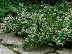 aster divaricatus - best in shad, to tall. Handles drought once established but likes summer water Lantana Flower, Aster Flower, Dry Shade Plants, Tall Shrubs, Flower Girl Wand, Creeping Phlox, White Flower Farm, Flower Food, Wildflower Seeds