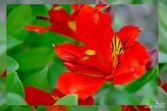 Astromeria rouge.