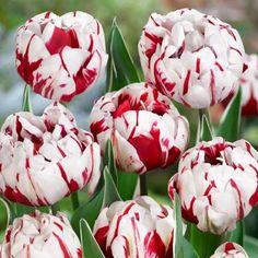 пионовидные тюльпаны фото: 14 тыс изображений найдено в Яндекс.Картинках