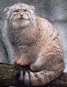 """""""Pallas's cat, also called the manul, is a small wild cat having a broad but patchy distribution in the grasslands and montain steppe of Central Asia.  These little darlings learn to growl aggressively before their eyes even open."""""""