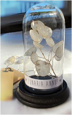 1000 images about lunaria on pinterest money plant silver dollar and seed pods - Monnaie du pape sechee ...