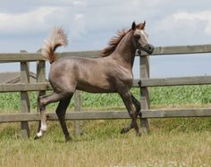 Ma Cherie Rose-D (Eternity Ibn Navarrone-D x WH Marissa Rose) 2011 grey filly bred by Dion Arabians, Belgium