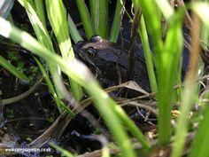 Rearing tadpoles