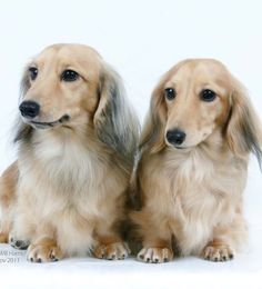 Beautiful Dachshunds-- Visit www.facebook.com/hotdoggstand for more cute pics