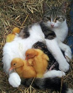 Mama cat with three kittens of her own adopts three  orphaned ducklings.