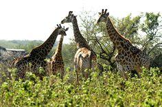 Game grazing near Eden Safari Country House Fun Facts About Giraffes, Giraffe Facts, More Fun, Safari, Wildlife, Horses, Country, Competition, Animals