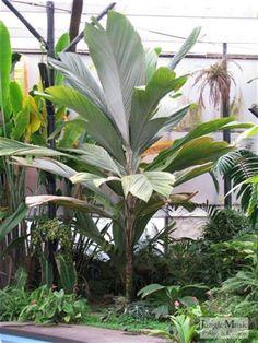 pelagodoxa - paddle leaf palm