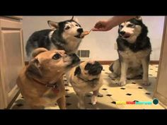Dogs Eating Peanut Butter Montage---watch this anytime you're in a bad mood and laugh till it's all okay again!
