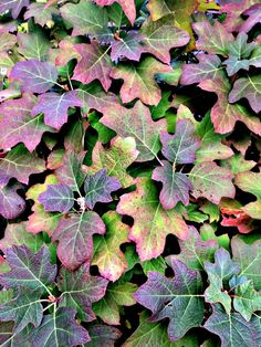 Oak Leaf Hydrangea Leaves in the Fall | Content in a Cottage