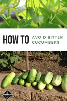 these cucumber gardening tips to prevent bitter tasting cucumbers. these cucumber gardening tips to prevent bitter tasting cucumbers.