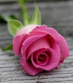 Rose left for Della from Nathan Rose Fotografie, Growing Roses, Hybrid Tea Roses, Rose Bush, Rose Photography, Annual Plants, Rose Cottage, Purple Roses, Beautiful Roses