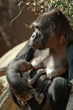incrivelmente lindos Baby Gorilla and Mama Primates, Mammals, Animals And Pets, Baby Animals, Cute Animals, Beautiful Creatures, Animals Beautiful, Baby Gorillas, Mountain Gorilla