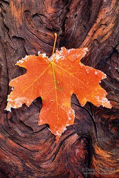 Autumn maple leaf laying on a log.