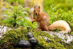 AmO Images, Photos of cute squirrels Free Desktop Wallpaper, Animal Wallpaper, Wallpaper Backgrounds, Wallpapers, Wallpaper Downloads, Flying Squirrel Pet, Cute Squirrel, Common Kingfisher, Kingfisher Bird