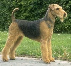 "The Airedale Terrier (often shortened to ""Airedale"") is a breedof the terrier type that originated in Airedale, a geographic area in Yorkshire, England. It is traditionally called the ""King of Terriers"" because it is the largest of the terrier breeds. Bred from a Welsh Terrier and an Otterhound, the breed has also been called the Waterside Terrier, because it was bred originally to hunt otters in and around the valleys of the River Aire which runs through Airedale. In the United Kingdom this…"